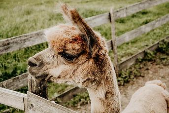Süßes Alpaka auf einem Bauernhof im Allgäu