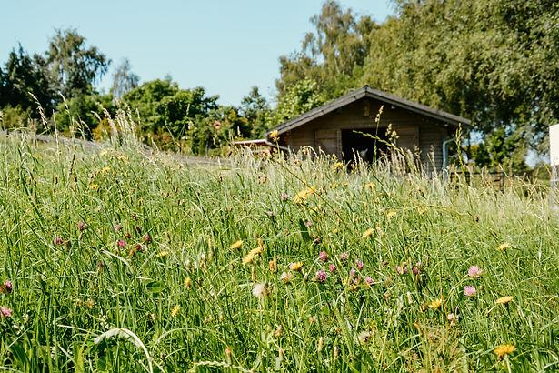 Blumen auf einer Weide für Alpakas im Allgäu