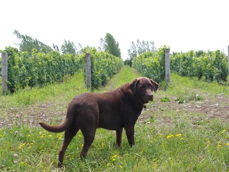 Woody the Vineyard Dog