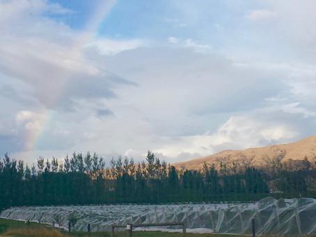 A Peek at Kiwi Pinot