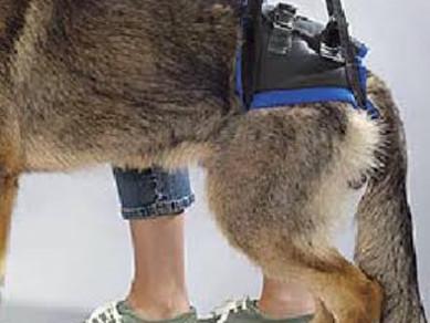 Eyvah! Köpeğim Ayağa Kalkamıyor! Kalça Displazisi Nedir?