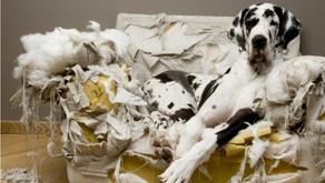 """""""Koltuğu kemirdim ama neden bir sor""""  Köpeklerde Ayrılık Anksiyetesi"""