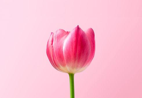 Tulip A.jpg