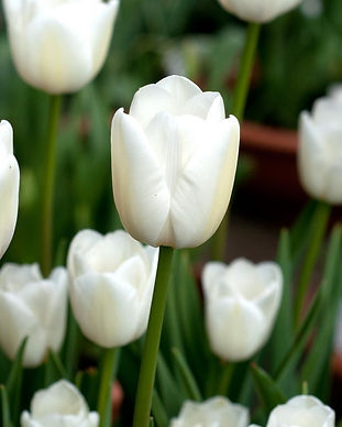 Tulip WHITE MARVEL.jpg