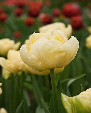Tulip VERONA.jpg