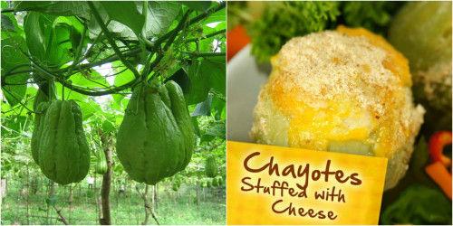 cheese stuffed choccho food belize