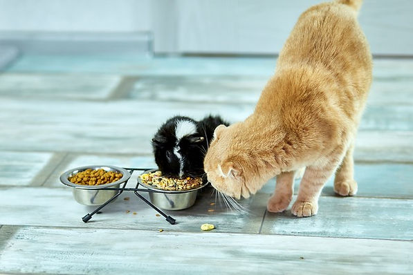 adorable-cat-guinea-pig-eating-indoors-h