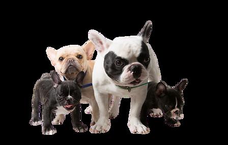 cute-funny-french-bulldog-family_126740-