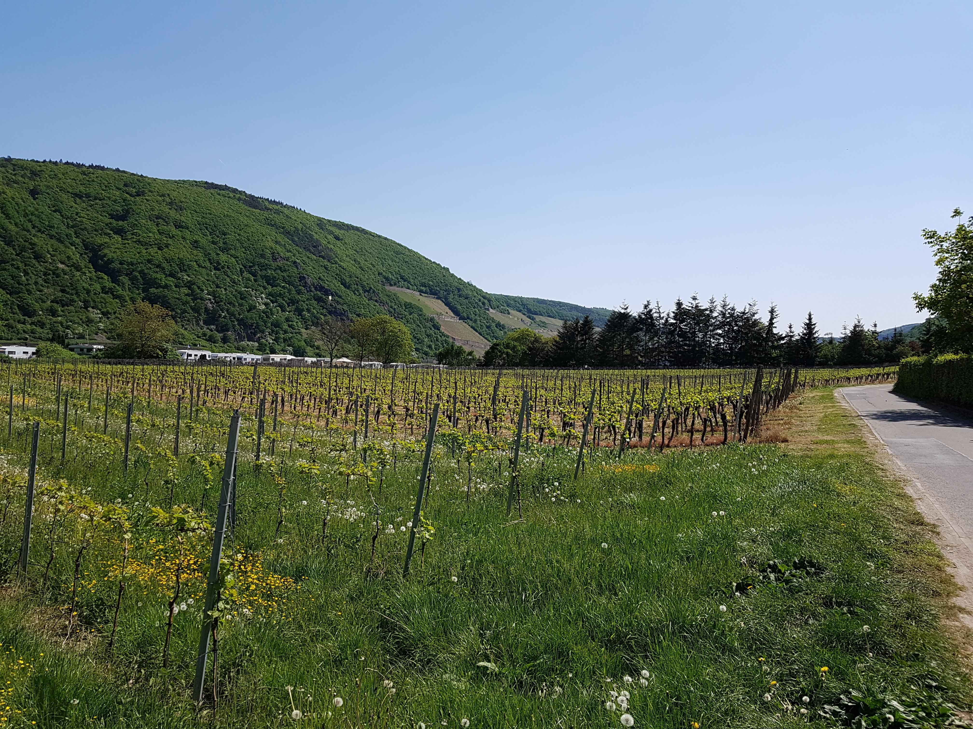 Typische Wiesen und  Wein am Rhein