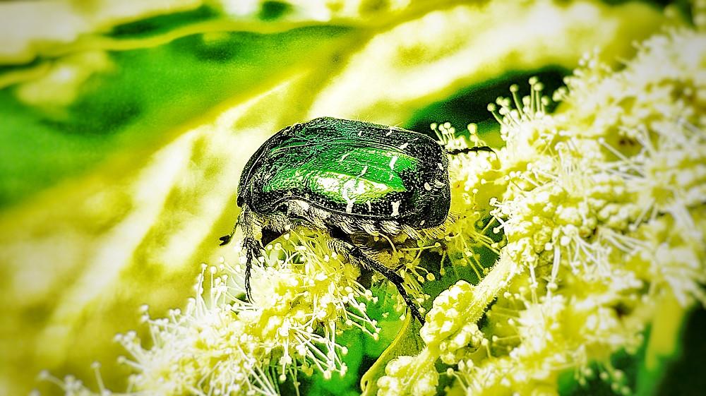 Ein grüner Rosenkäfer auf den Blütenständen einer Weidenart. Metallisch schimmert sein Körper grün bis schwarz  im Gegensatz zu den hellen, winzigen Blüten.
