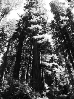 Redwood B&W