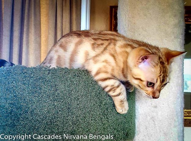 1-curious-bengal-kitten.jpg