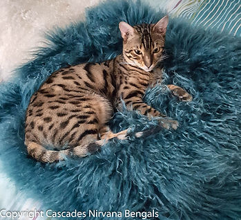 Mr-Spock-King-Brown-Spotted-Bengal.jpg