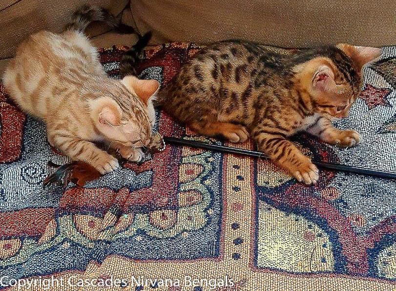 2-bengal-kittens-playing.jpg