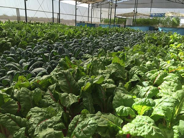 Oman Al Arfan Farms.jpg