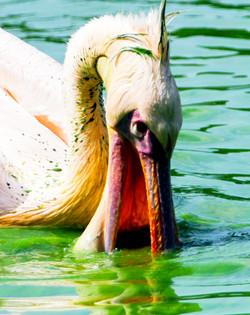 Pelicano em lagoa poluída