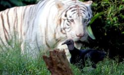 Tigre e urubu