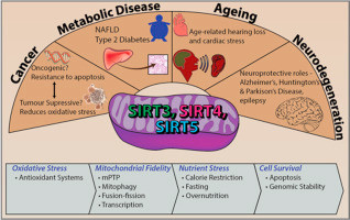 sirtuins benefits in our cells