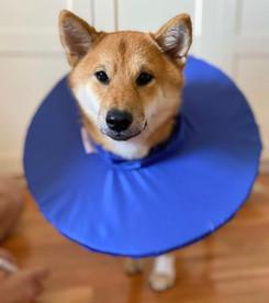 Защитный воротник-подушка для взрослых кошек мейн-кун и средних пород собак