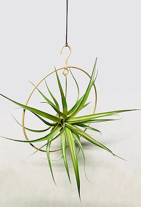 Dïst Ring of airplants large