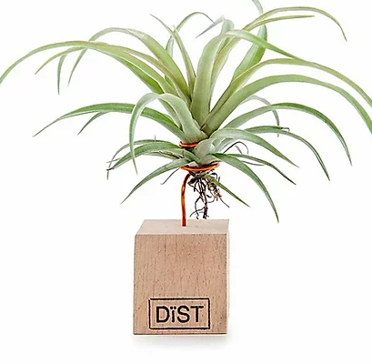 Airplant small 5x5