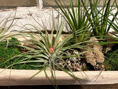 Air Plant Website 3.jpg