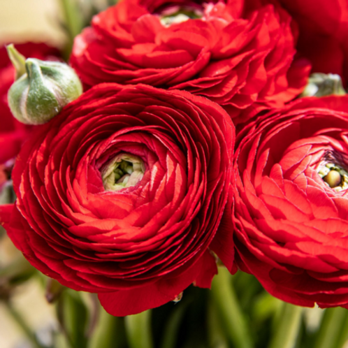 Rosey Red Ranunculus