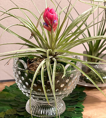 Blooming Air Plant