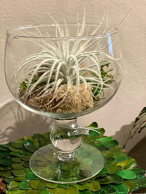 Frosted Air Plant