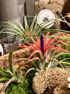 Air Plant Website bloom.jpg