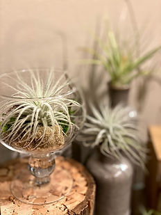 Air Plant  Website.jpg