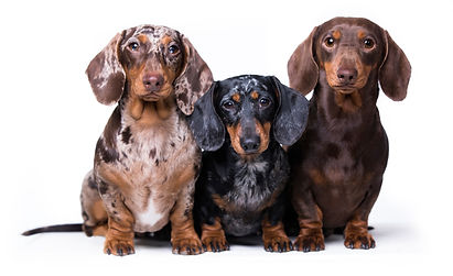 Three dogs of dachshunds of rare colors.