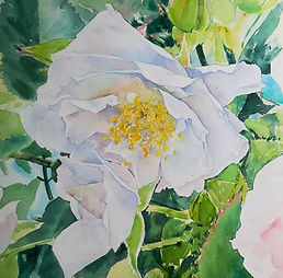 white rose watercolour.jpg