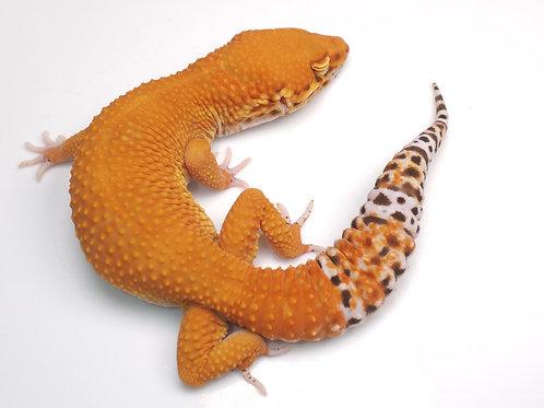 MBA-030820-A: Mandarin Bell Albino (poss het NDBE)