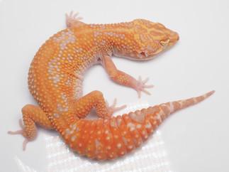 Tivoli (Female)