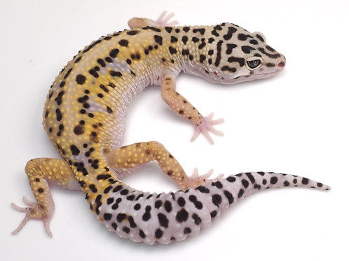 EBWY-040920: Extreme Bold x Extreme Bold White & Yellow Cross (poss het eclipse