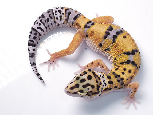 EBWY-072919-A:  Extreme Bold x White and Yellow (poss het eclipse)
