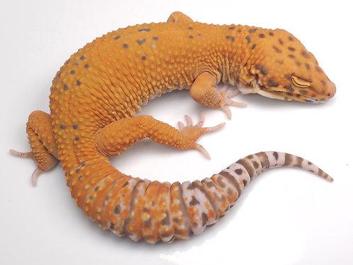 MBA-030820-B: Mandarin Bell Albino (poss het NDBE)