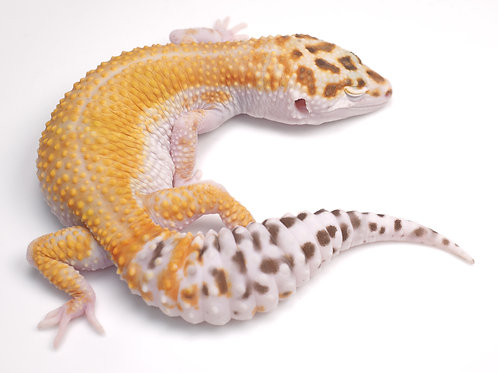 BA-040220-A:  Bell Albino White and Yellow (poss het eclipse)