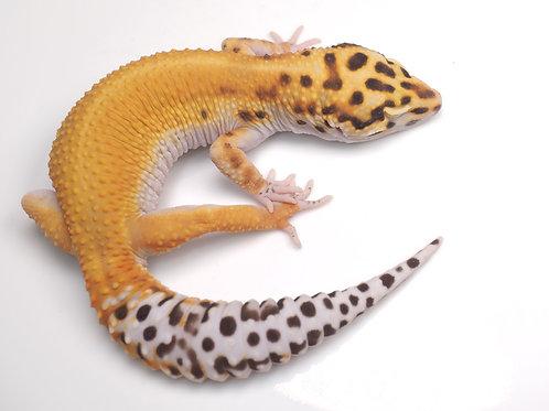 BA-041920-B: Bell Albino (poss white and yellow, poss het eclipse)