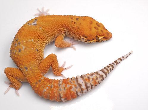 MBA-012520-B:  Mandarin Bell Albino (poss het NDBE)