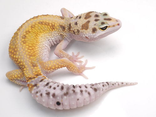 EBWY-012020-B: Extreme Bold x White and Yellow (poss het eclipse)