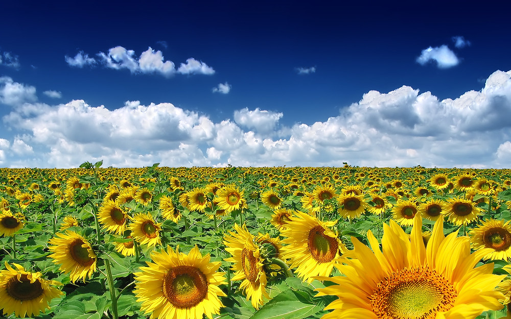 summer season - sunflowers