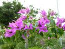 Kavousi Flowers / Blumen