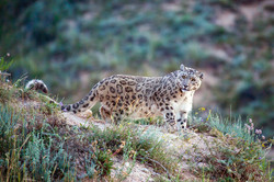 Snow Leopard, Photo Andy Fabian