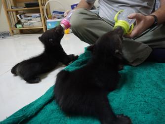 Two little moon bear cubs