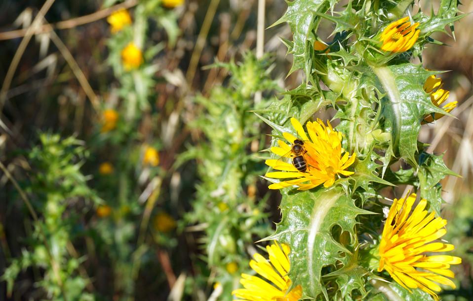 Abeja en una flor de taganina