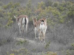 Female Gazelles
