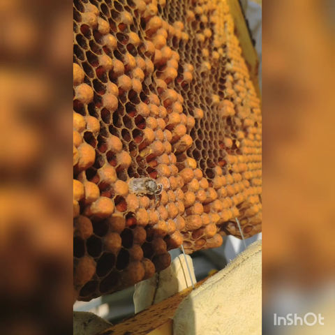 Die Metamorphose der Bienen
