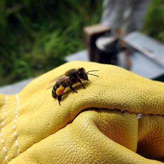 bee with polen.jpg